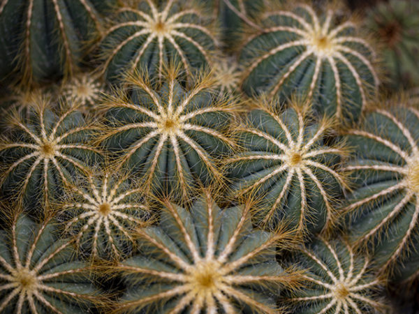 parodia-plant